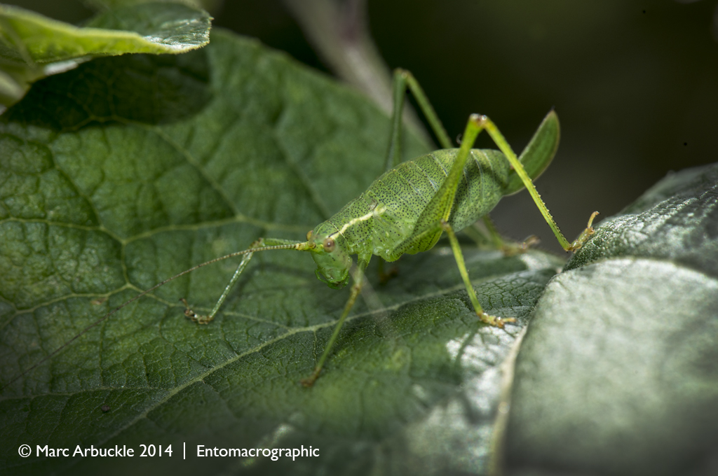 Speckled Bush-cricket, Leptophyes punctatissima, female