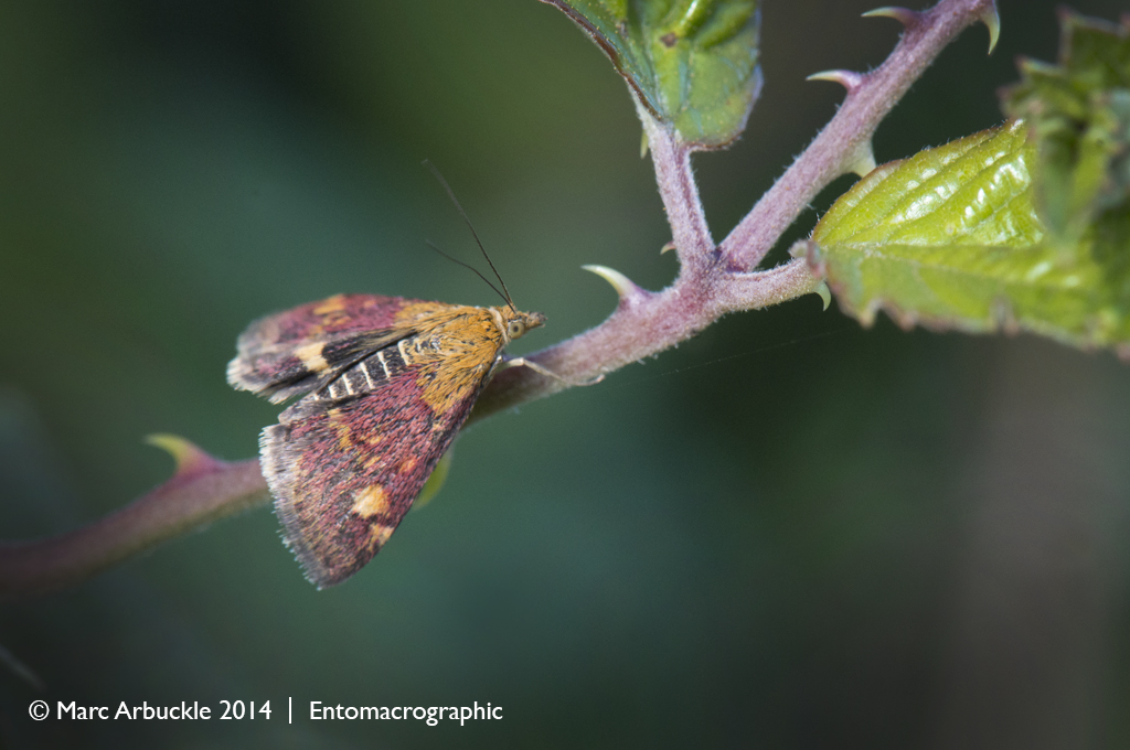 Mint moth, pyrausta aurata