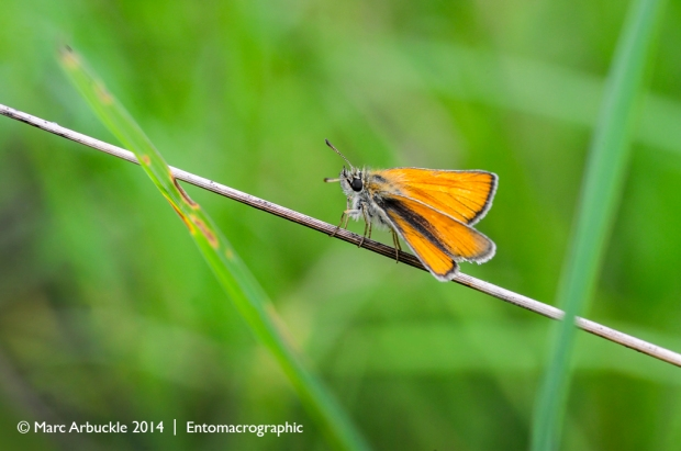 Essex Skipper, thymelicus lineola, female