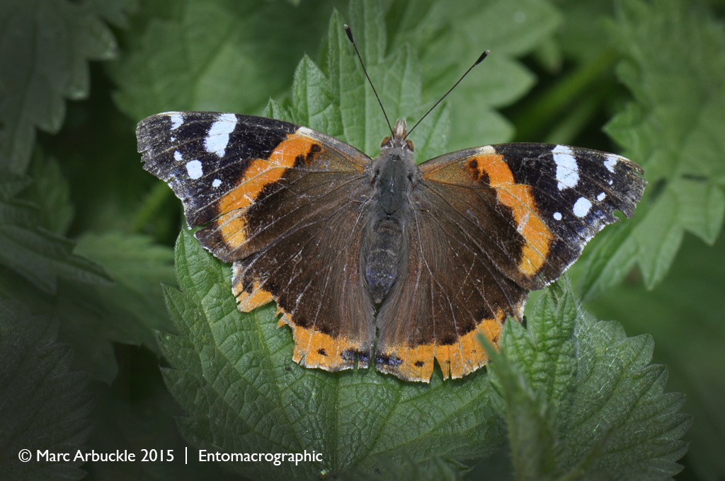 Red Admiral butterfly, Vanessa atalanta