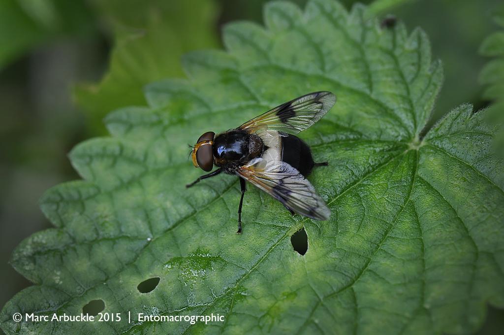 Pellucid hoverfly, Volucella pellucens – female
