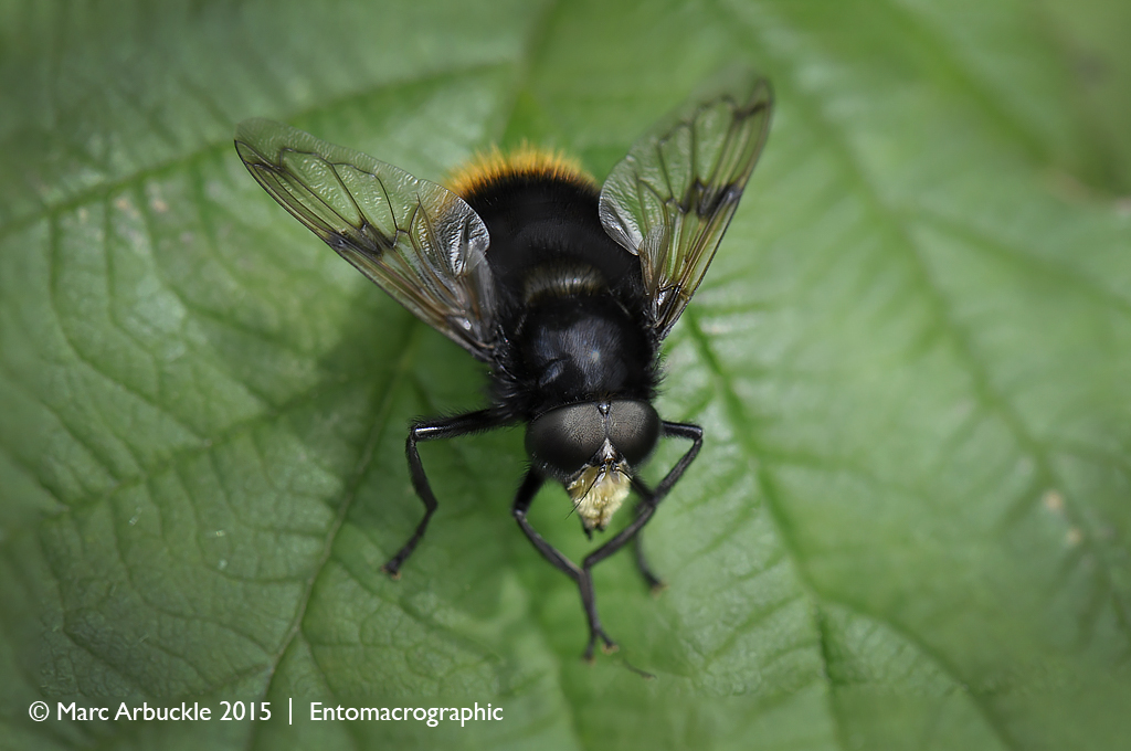 Volucella bombylans – male