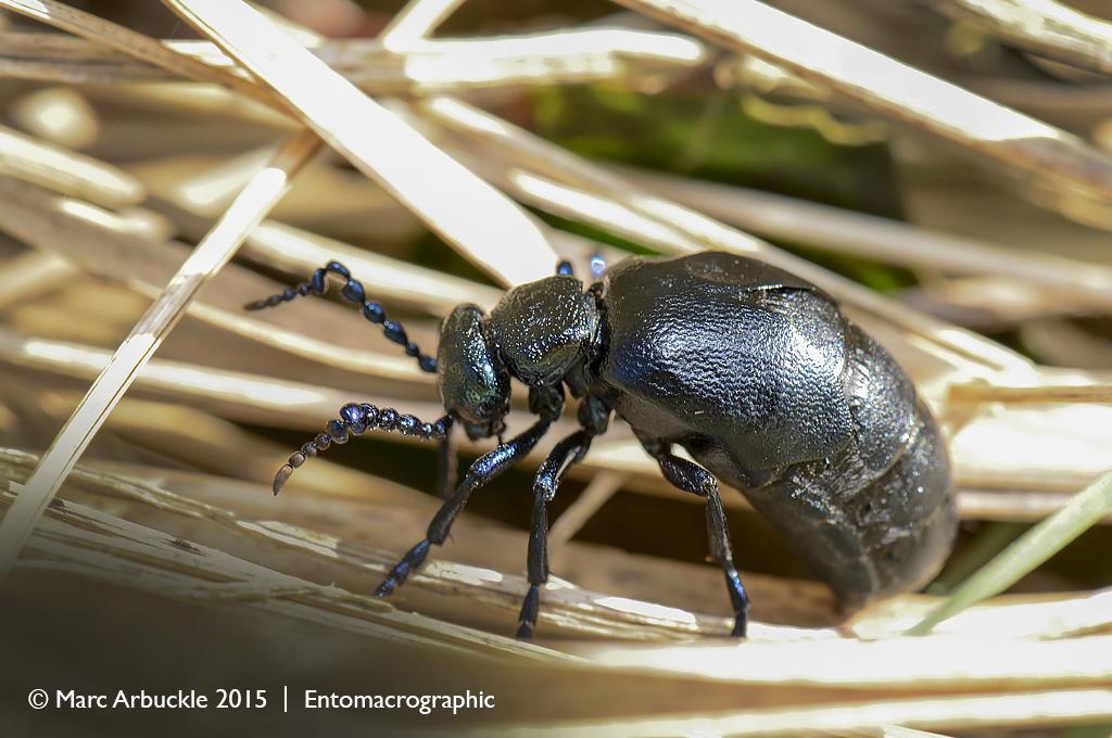 Black Oil beetle, Meloe proscarabaeus, male