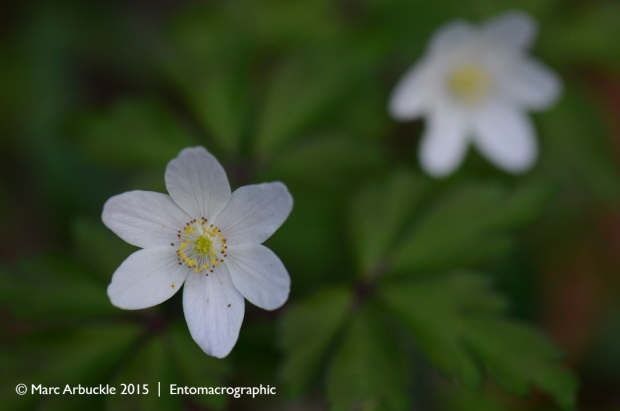 Wood Anenome, Anemone nemorosa