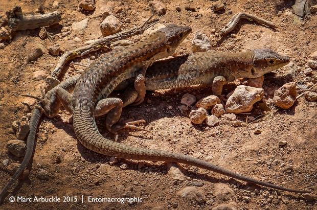 Acanthodactylus schreiberi