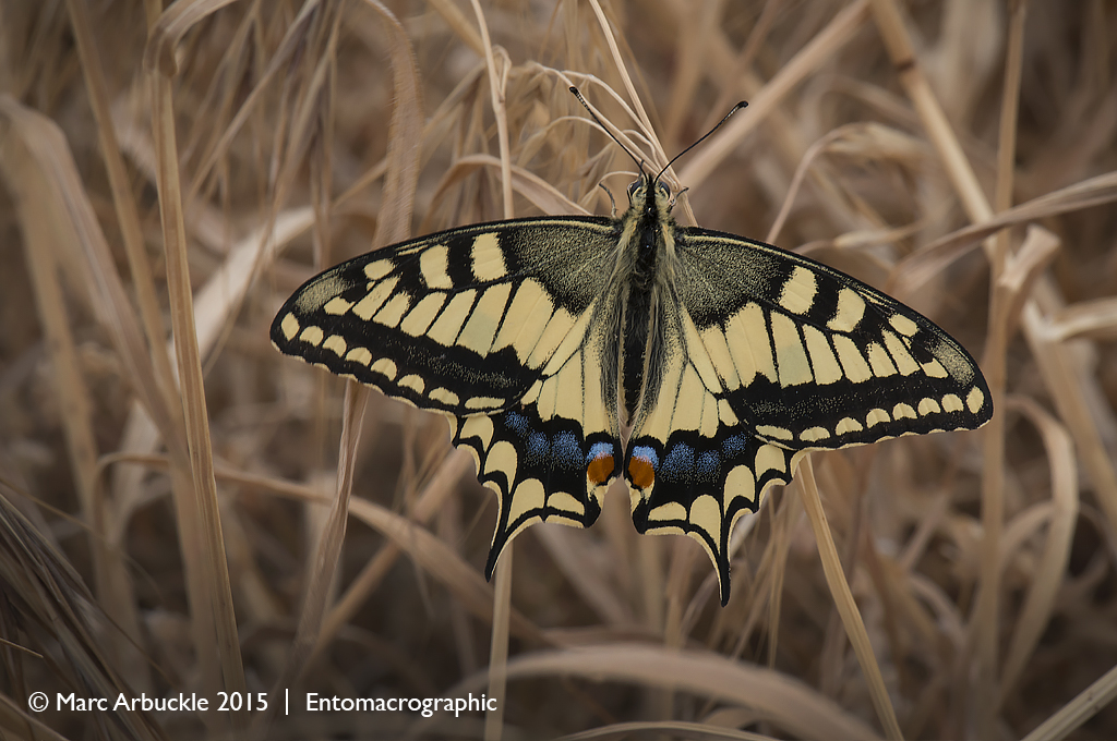 European Swallowtail butterfly, Papilio machaon