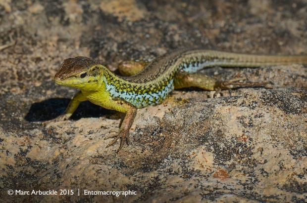 European snake-eyed lizard, Ophisops elegens