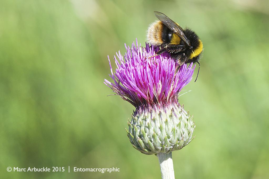 Broken–belted Bumblebee, Bombus soroeensis
