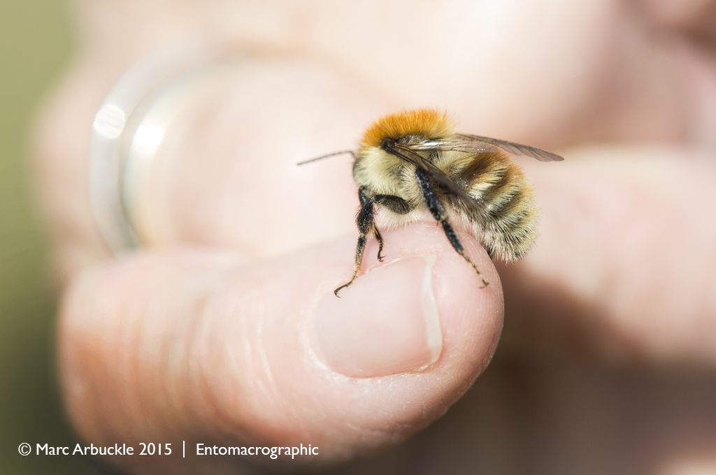 Common carder bee, bombus pascuorum, male