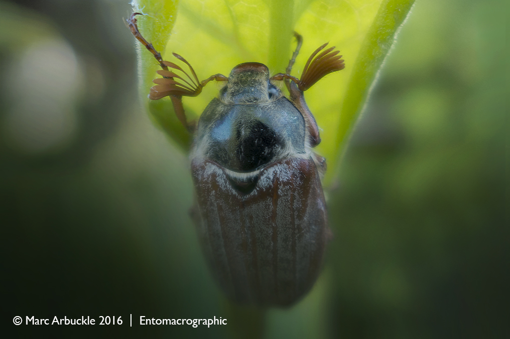 June bug, Melolontha melolontha, male