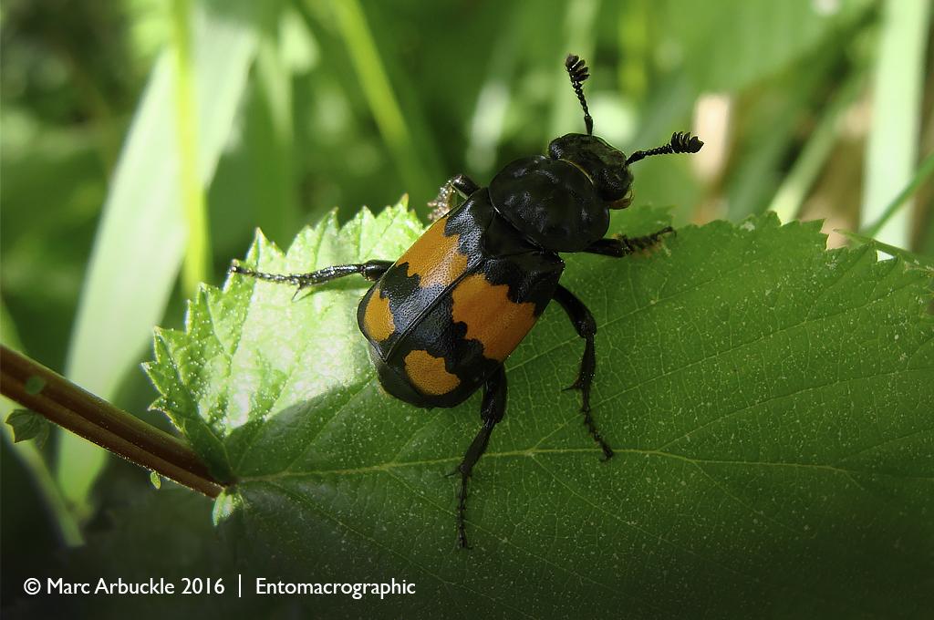 Sexton beetle, Nicrophorus vespilloides