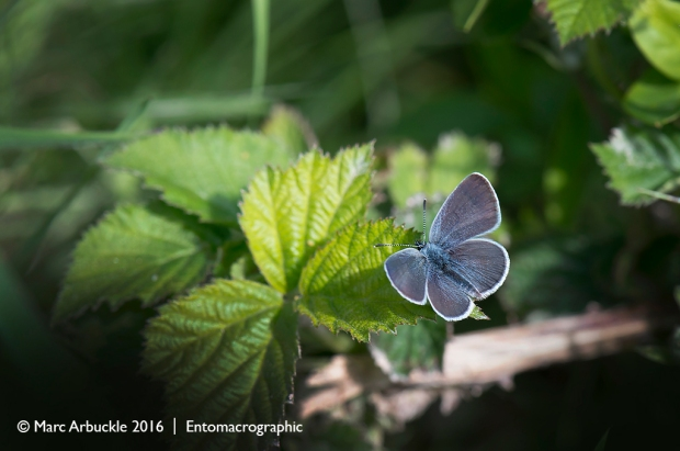Small Blue butterfly, Cupido minimus, male