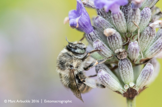 Four-banded flower bee, Anthophora quadrimaculata, female