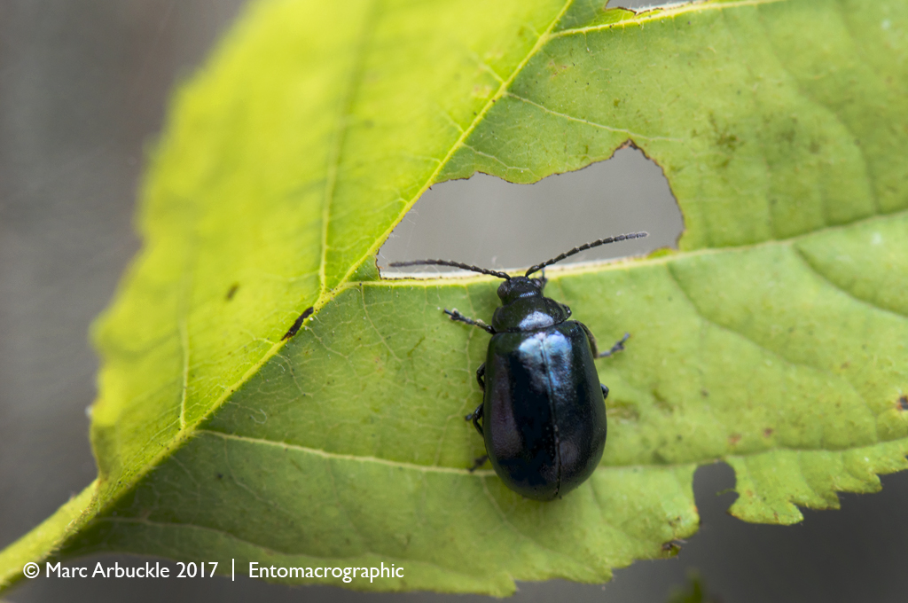 The blue alder leaf beetle, Agelastica alni