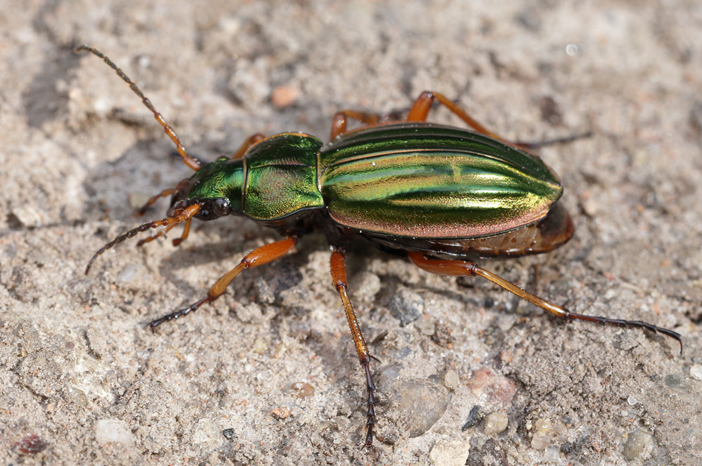 the goldsmith, carabus auratus
