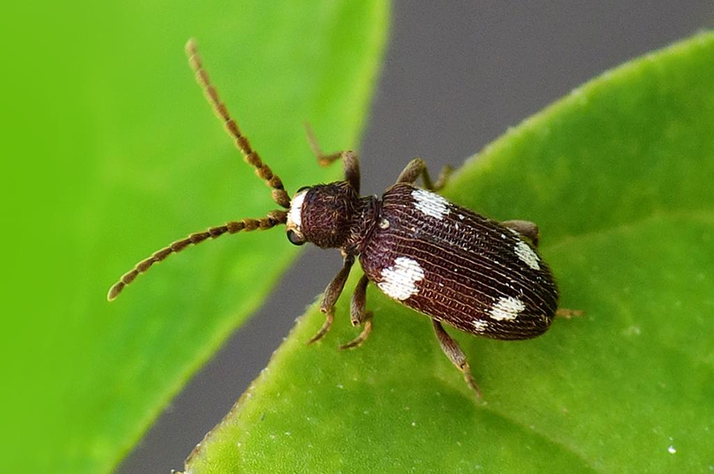 ptinus sexpunctatus